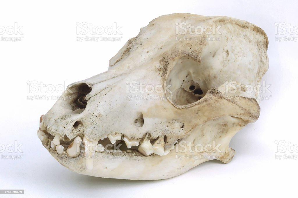 Skull of the Dog royalty-free stock photo