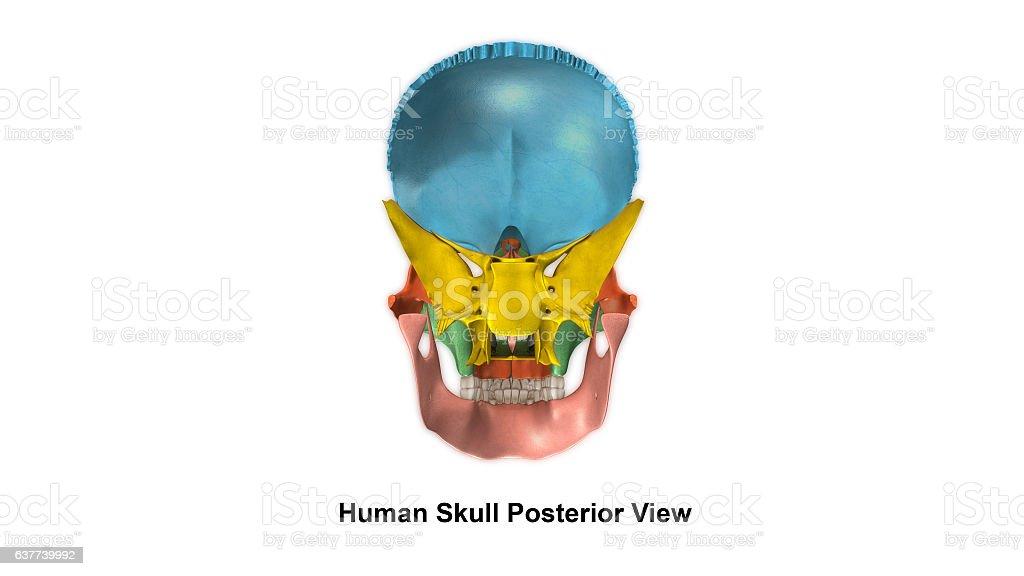 Skull Posterior view stock photo