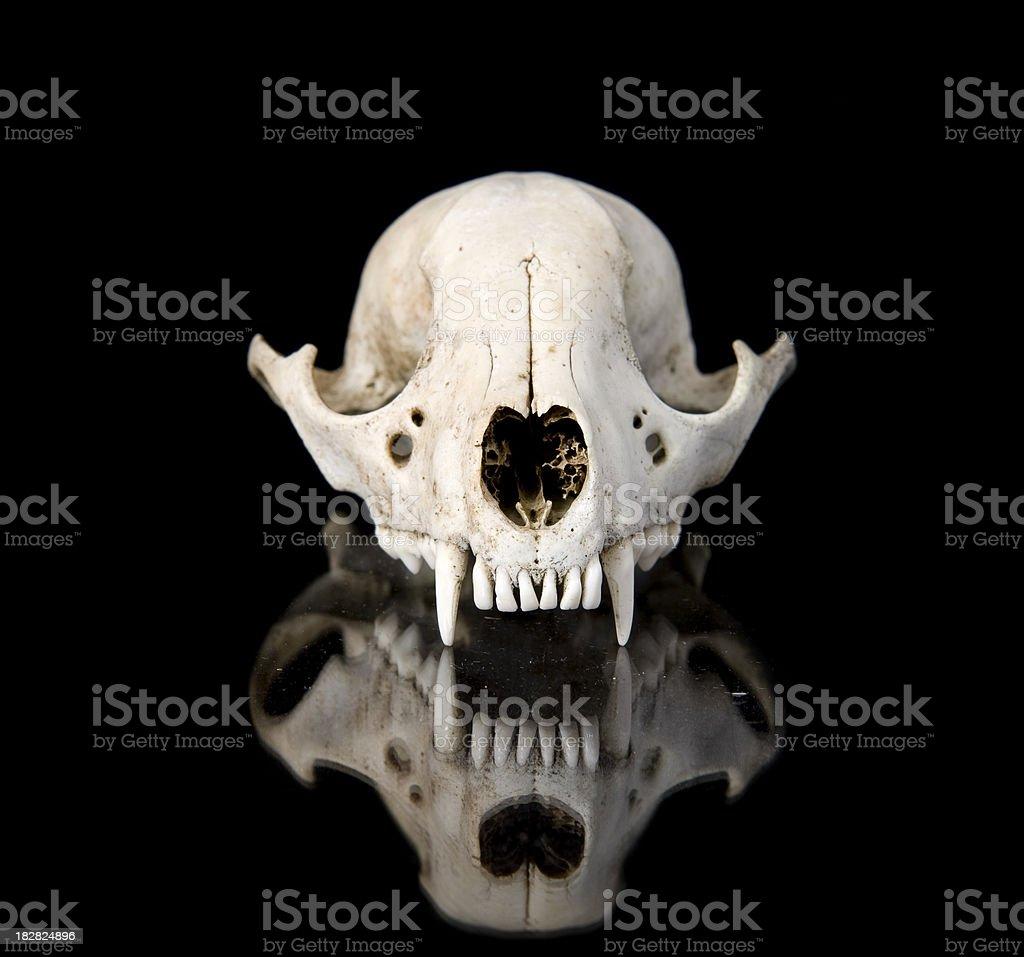 skull racoon, raton laveur bones skeleton stock photo