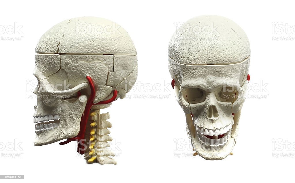 Skull -side and front view. royalty-free stock photo