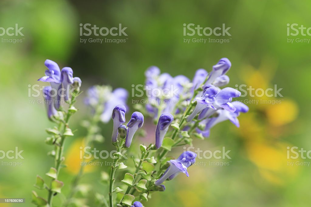 Skullcap Scutellaria stock photo
