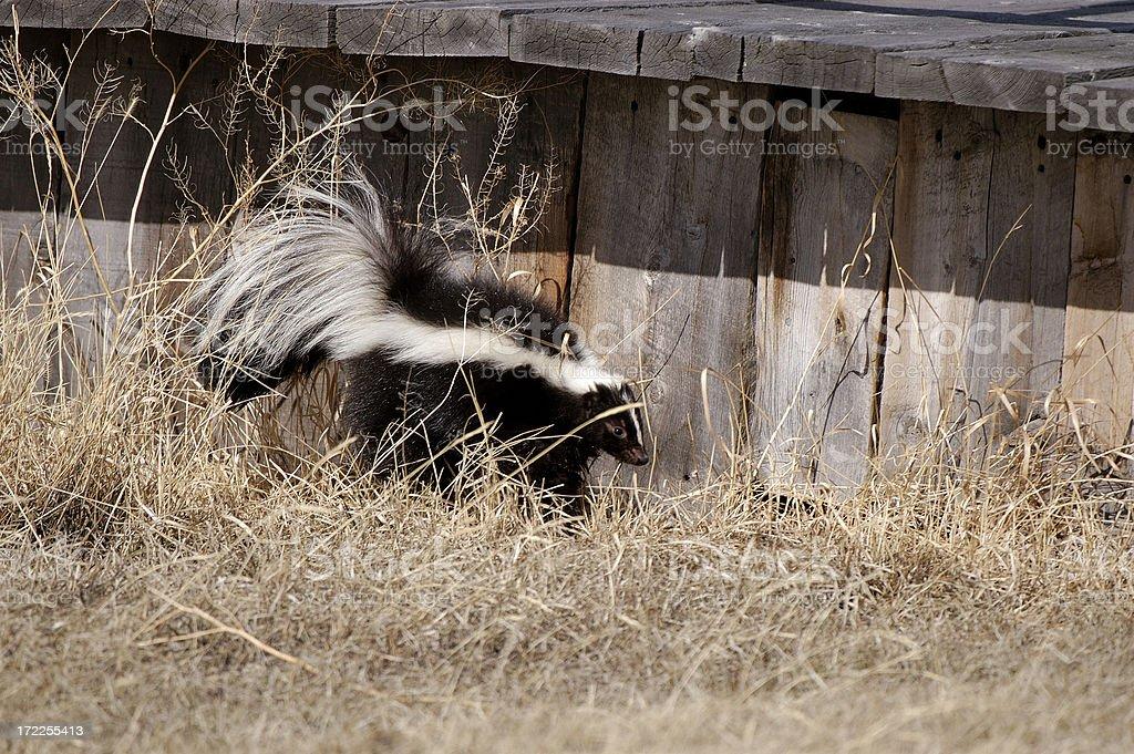 Skunk Alert! stock photo