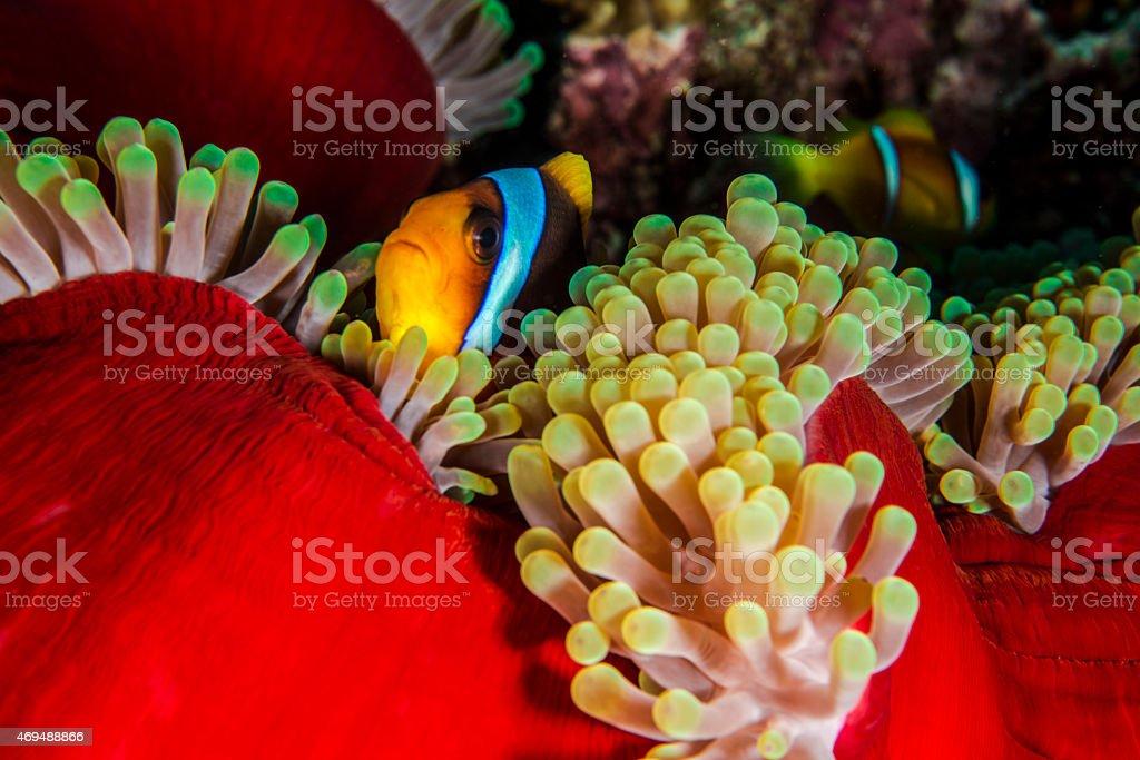 Skunk Anemone stock photo