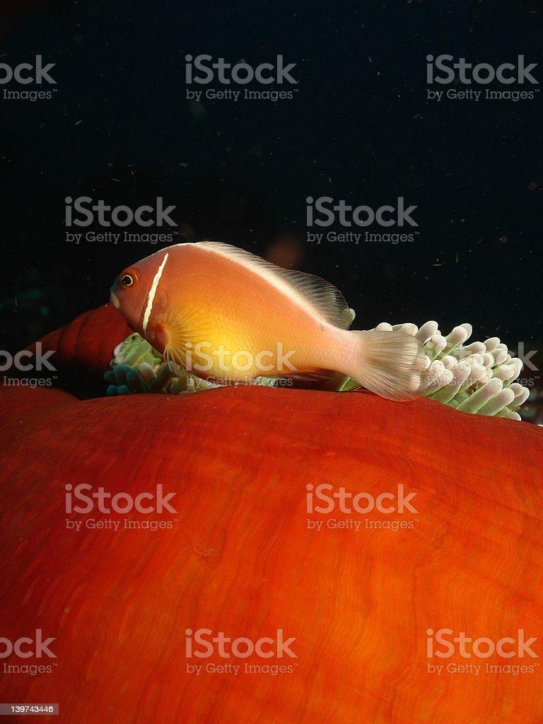 Skunk Anemony Fish stock photo