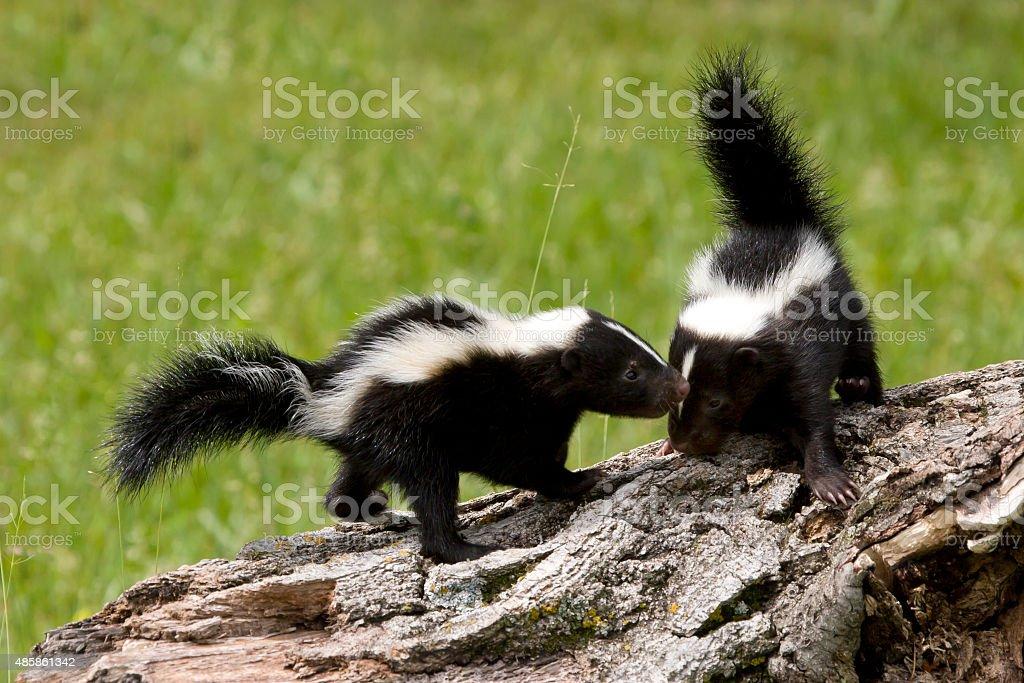 Skunk Buddies stock photo