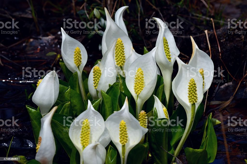 Skunk cabbage flowers stock photo