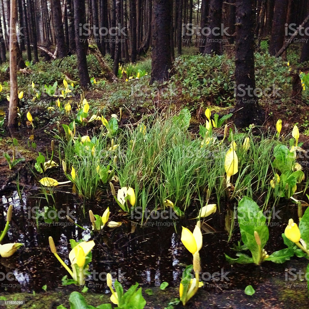 Skunk cabbage forest royalty-free stock photo