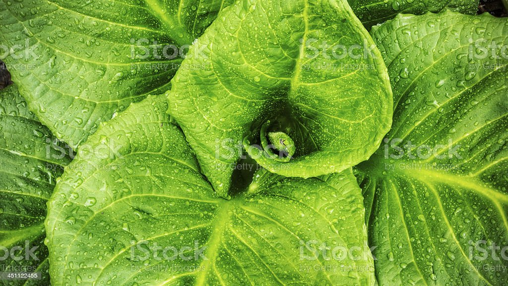 Skunk Cabbage Leaves stock photo