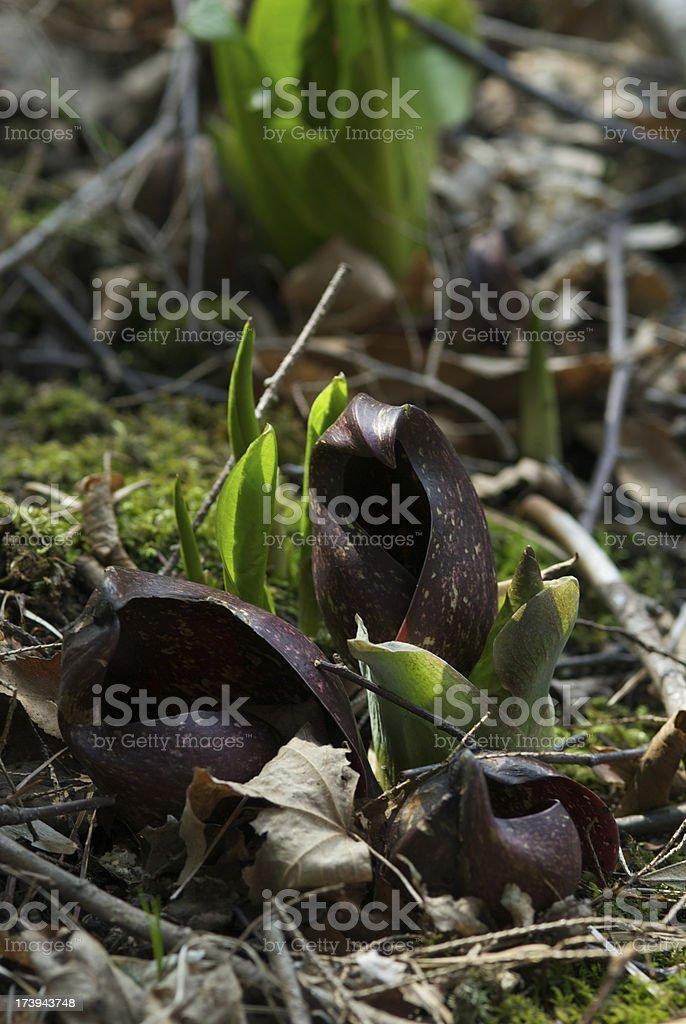 Skunk Cabbage stock photo