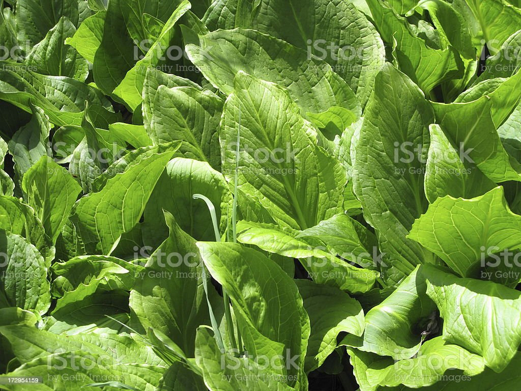 Skunk Cabbage Plant Weed Green stock photo