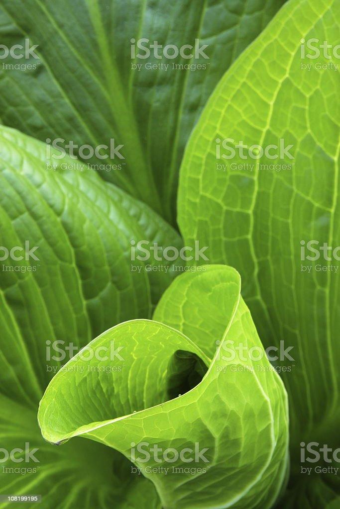 Skunk Cabbage Symplocarpus foetidus Leaf stock photo