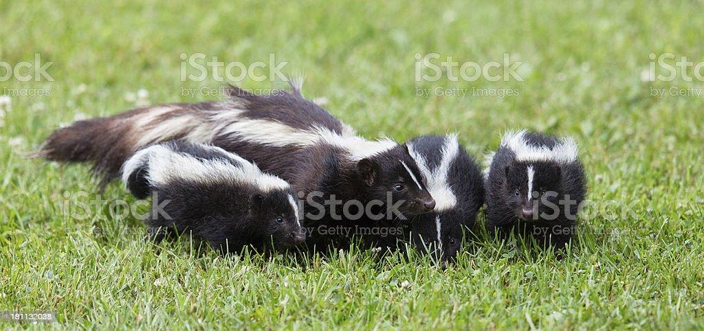 Skunk Family royalty-free stock photo