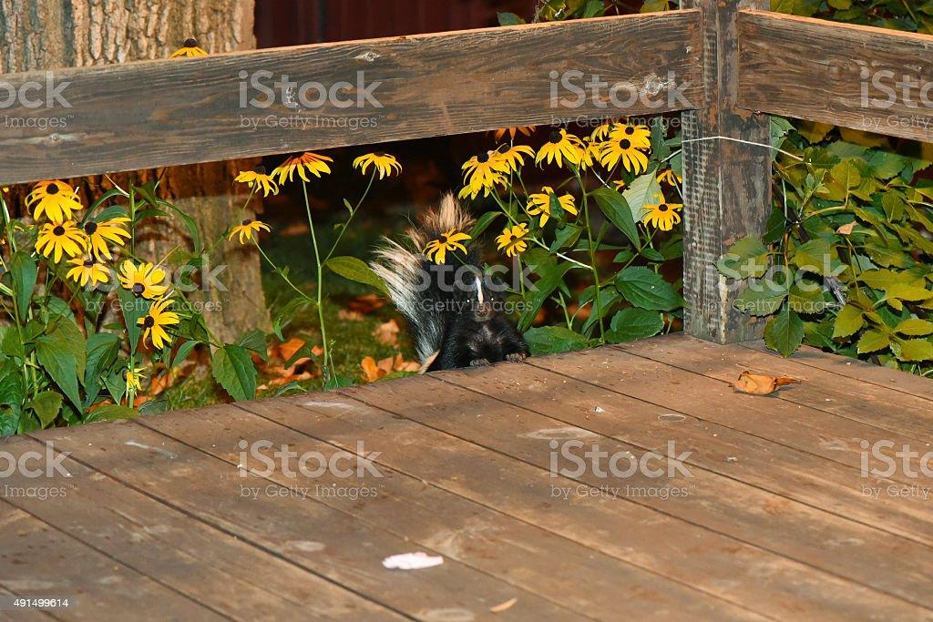 Skunk in Backyard Patio stock photo