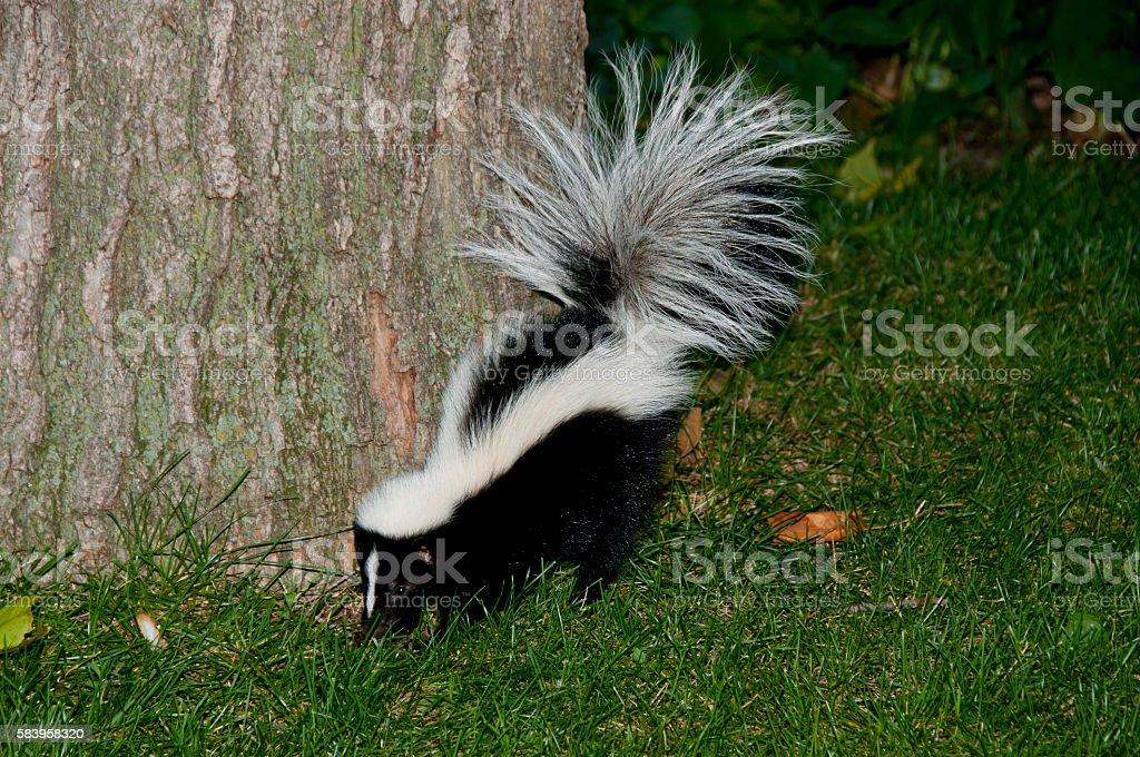 Skunk in Backyard stock photo