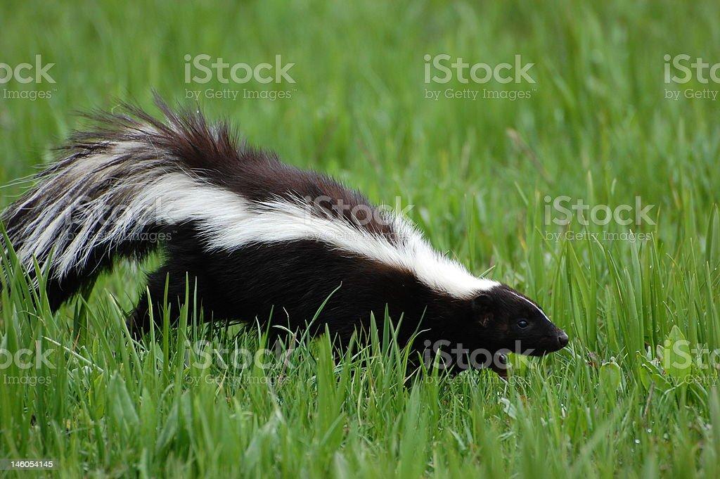 Skunk in Early Spring stock photo