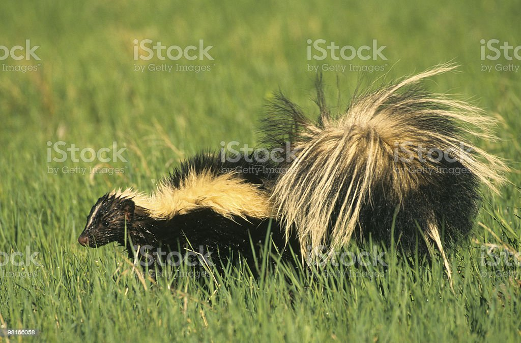Skunk in Grass Field royalty-free stock photo