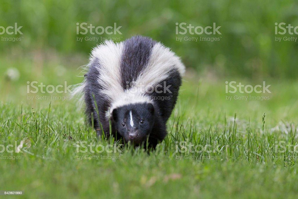 Skunk in spring stock photo