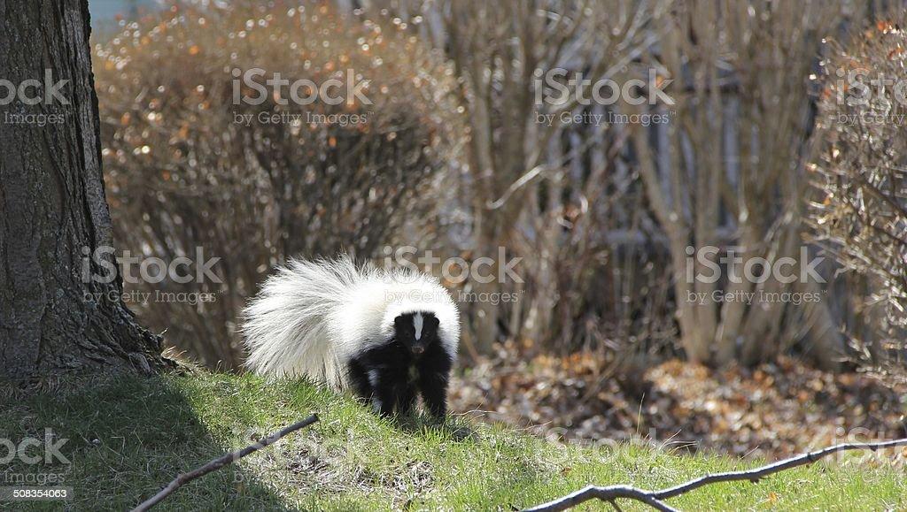 Skunk in the yard. stock photo
