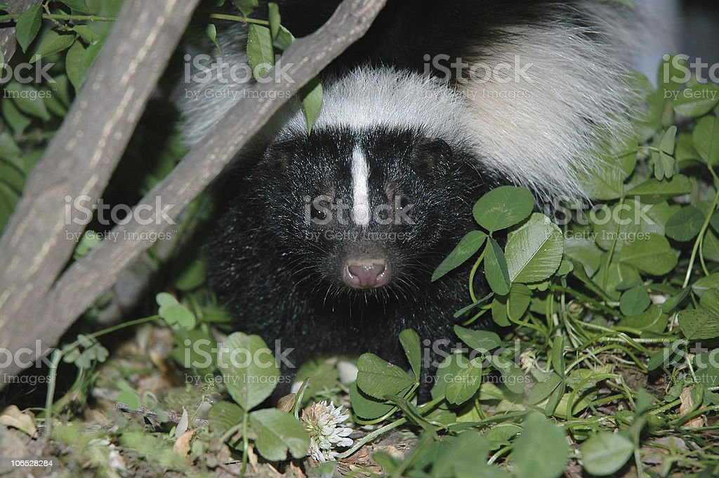 Skunk Photo, Head Shot - Close-up stock photo
