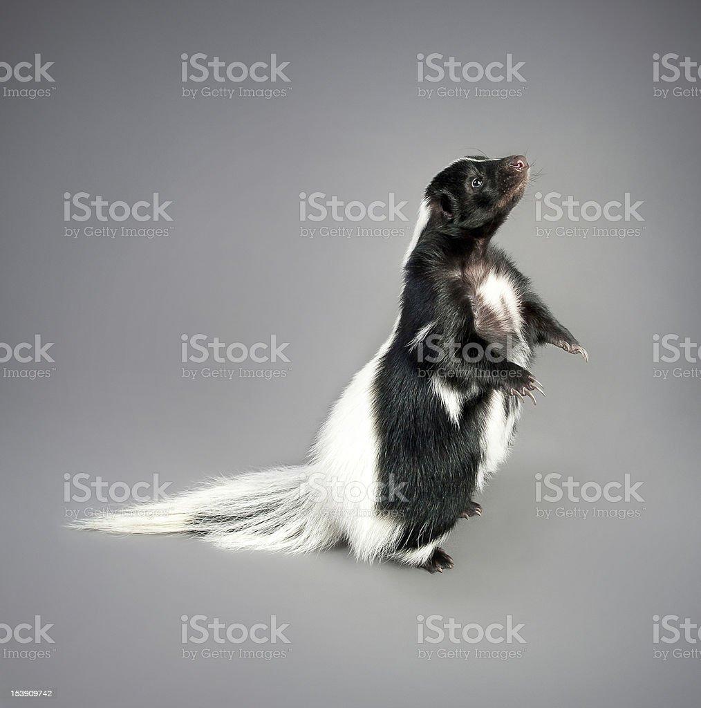 Skunk stock photo