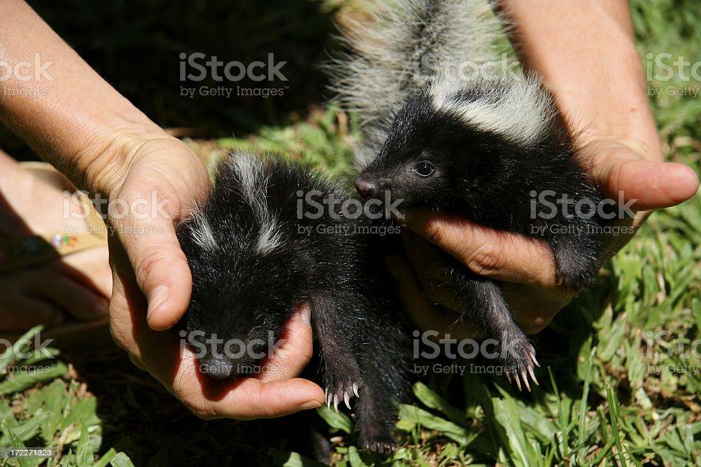 Skunks royalty-free stock photo