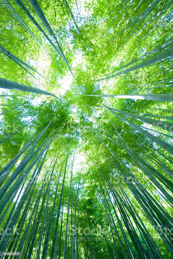 Sky and bamboo forest stock photo