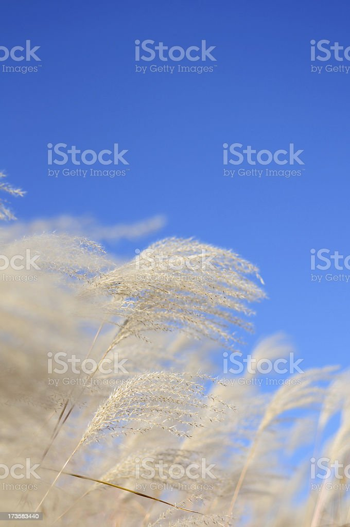 Sky and Grass Reeds royalty-free stock photo