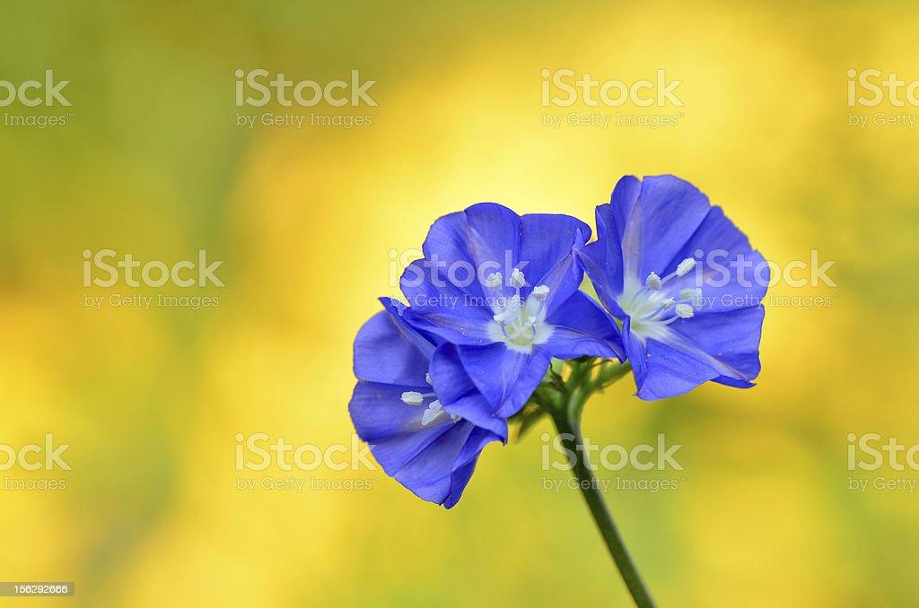 Sky blue Cluster vine royalty-free stock photo