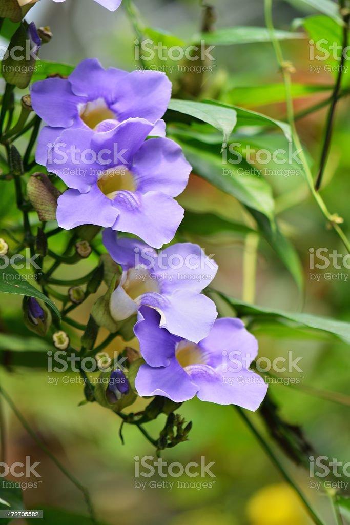 Sky Clock Vine, Thunbergia Grandiflora stock photo