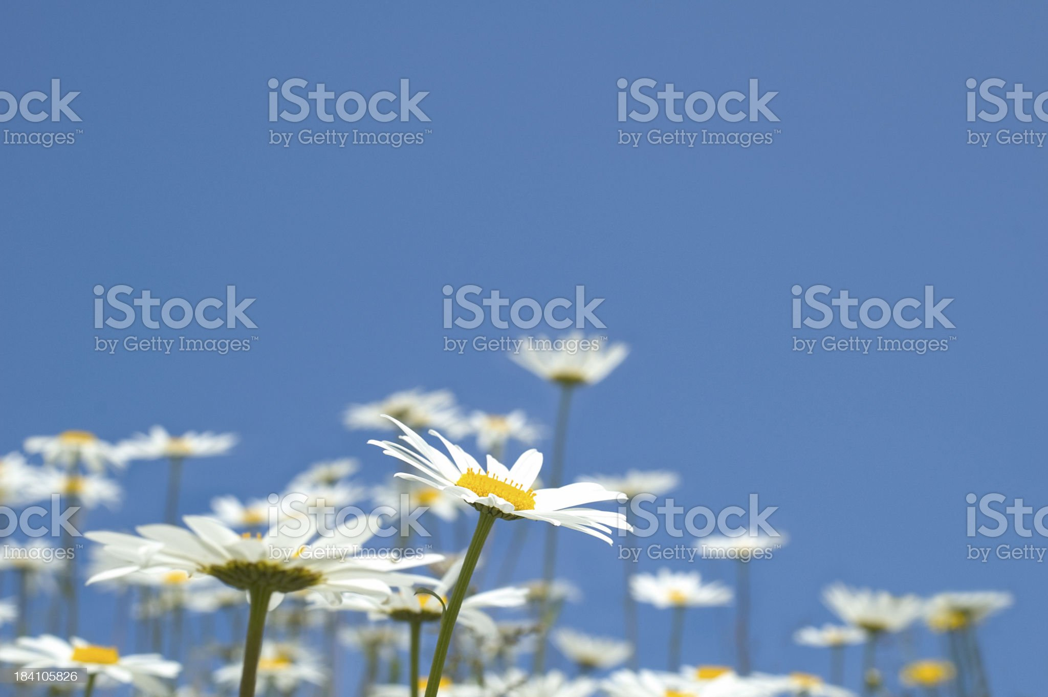 sky daisies royalty-free stock photo
