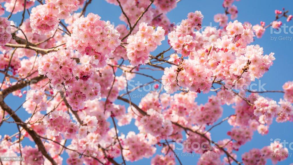 Sky full of cherry blossom stock photo