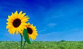 Sky, grass and sunflower