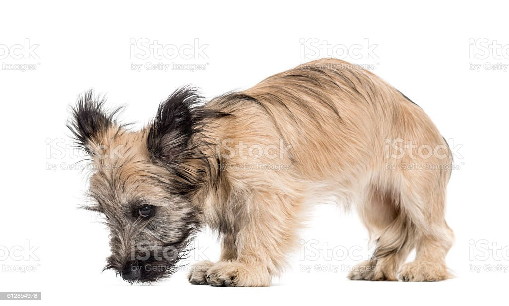 Skye Terrier dog looking down isolated on white stock photo