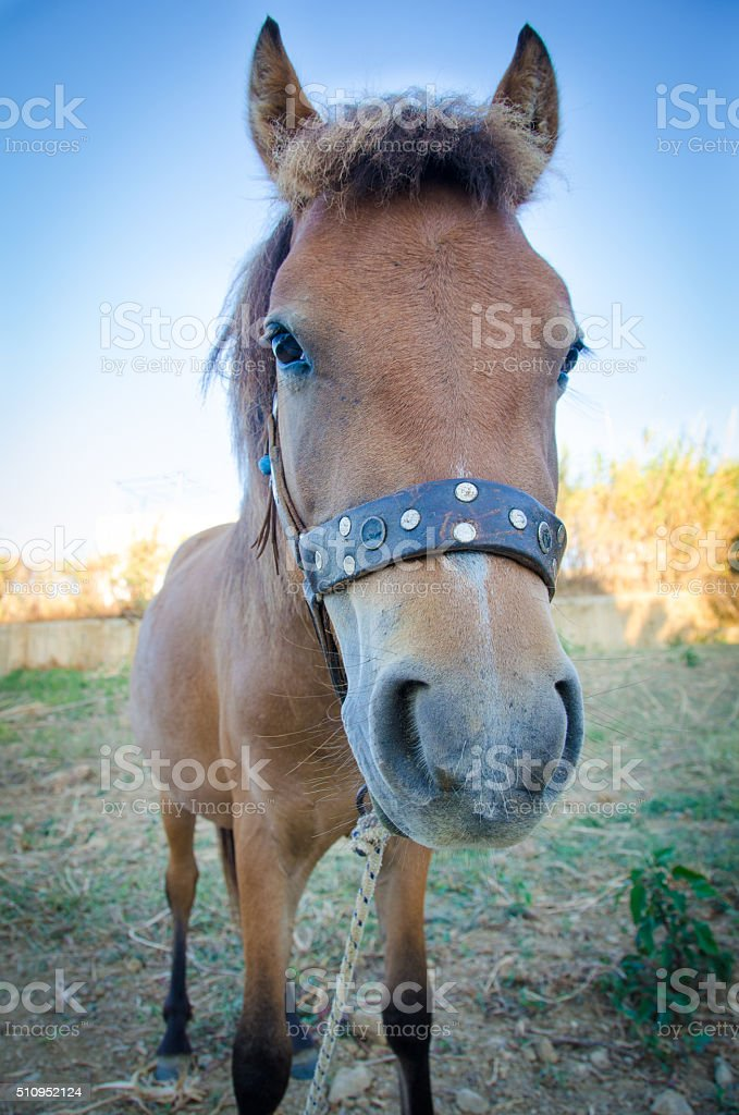 Skyrian small horse stock photo