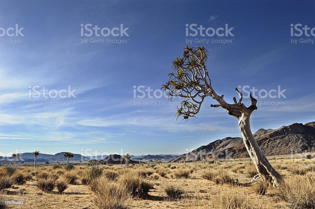 Slanted quiver tree in desert landscape stock photo