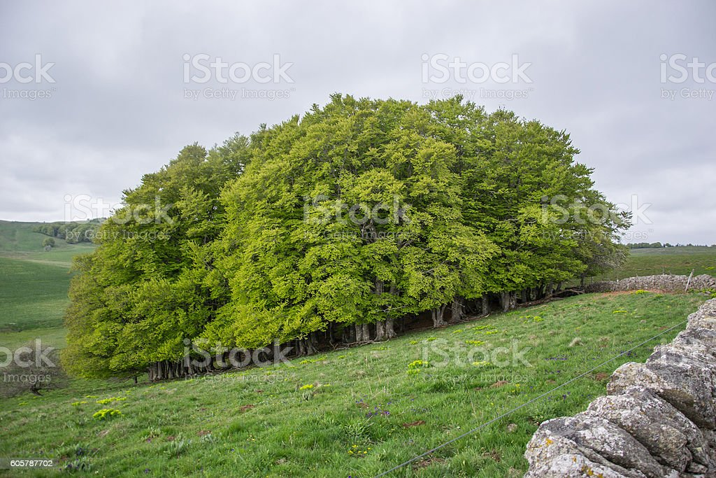 slanted small forest in france stock photo