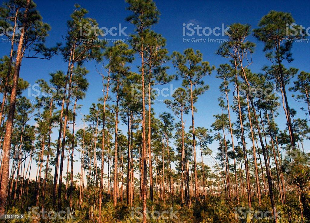 Slash Pines in the Everglades stock photo