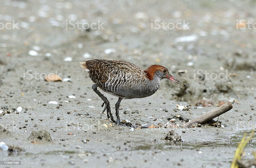 slaty-breasted rail stock photo