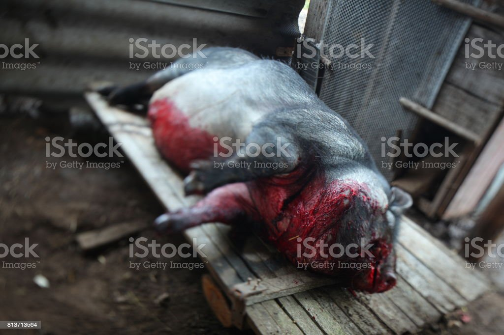 Slaughter of a pig stock photo