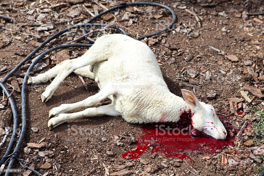 Slaughtered Lamb stock photo