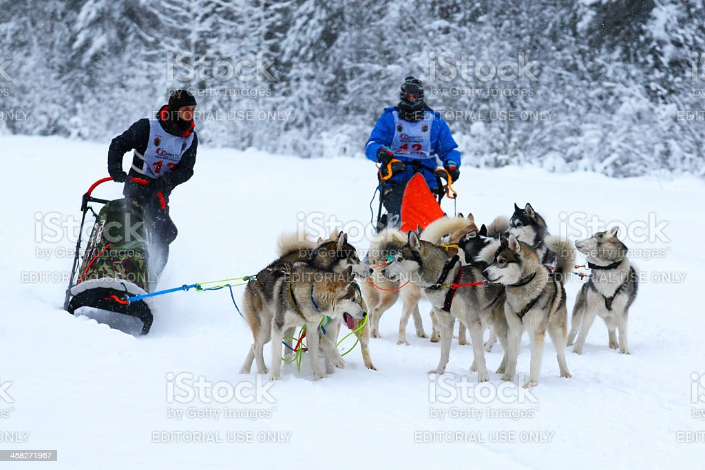 Sled dog race royalty-free stock photo
