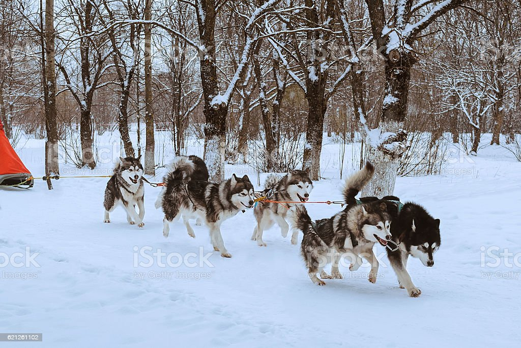 Sled dog race stock photo