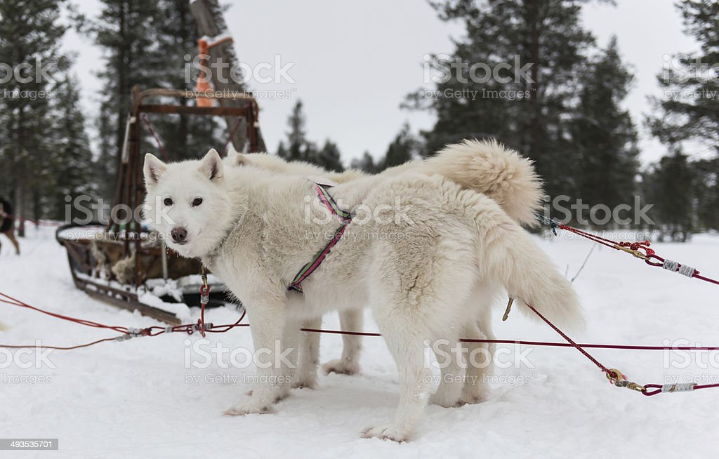 Sled dogs (huskies) in Lapland/Finland stock photo