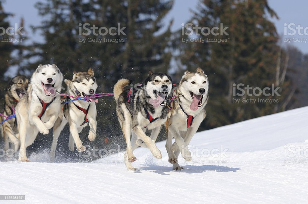 chiens de traineau royalty-free stock photo