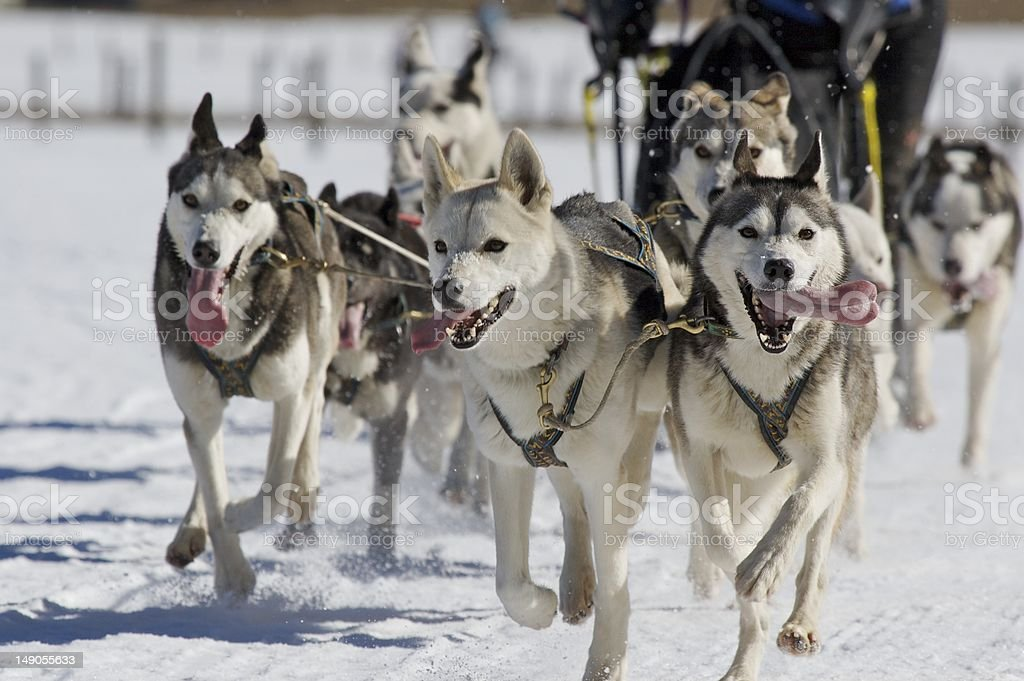 sled dogs stock photo