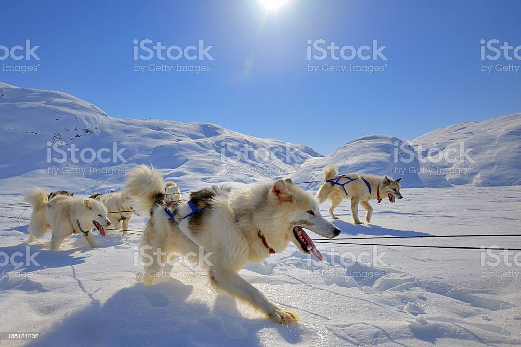 Sled dogs  running in Greenland stock photo