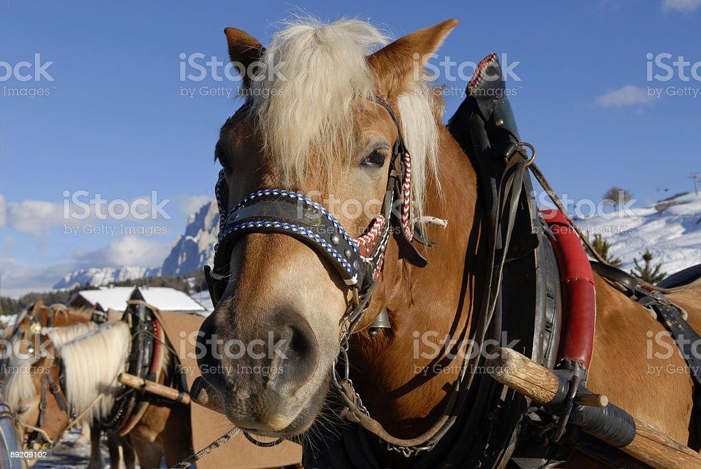 sled horses stock photo