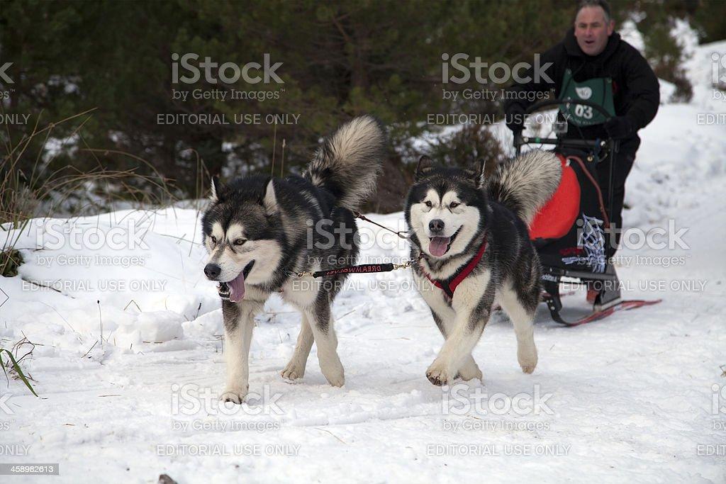 Sledding Competition, Scotland royalty-free stock photo