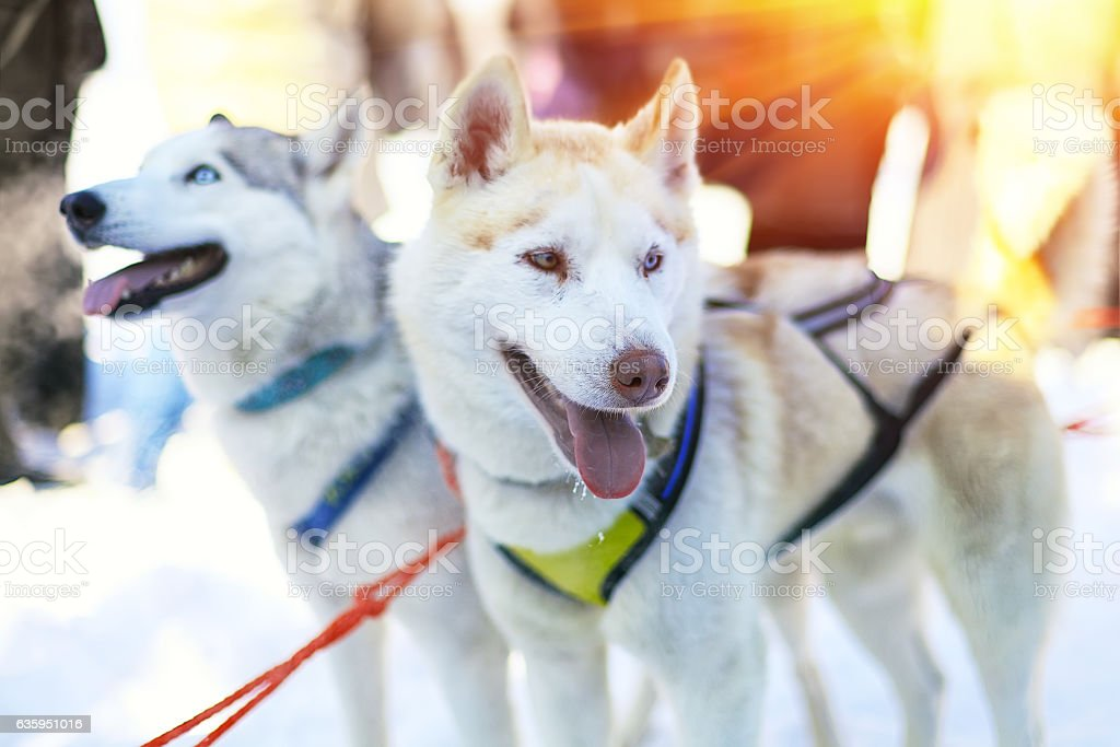 Sledding with husky dogs in Lapland Finland stock photo