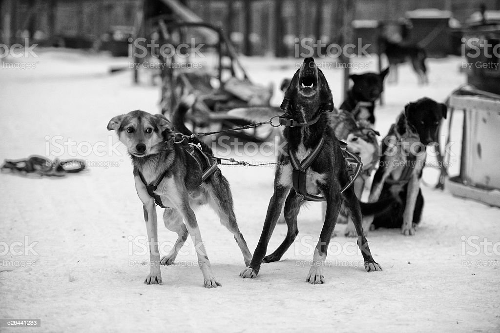 sledding with husky dogs in lapland stock photo